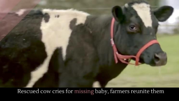 Rescued cow cries for missing baby, farmers reunite them - Alltop Viral
